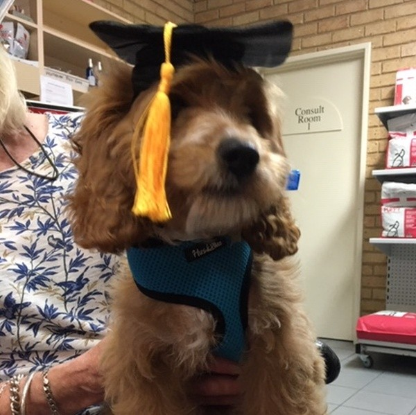 Dec 21 Lucy the Cocker Spaniel graduating from puppy school. She calls Safety Bay home