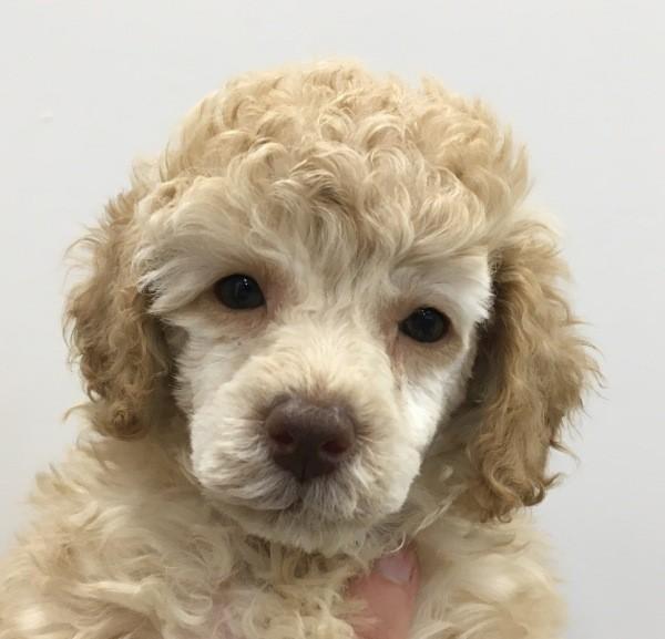 Feb 10 A female Mini Poodle with a purple collar