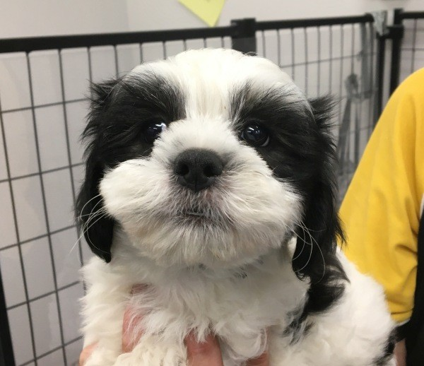 Feb 25 A Maltese Shih Tzu cross male puppy wearing a black collar and it has a black and white coat