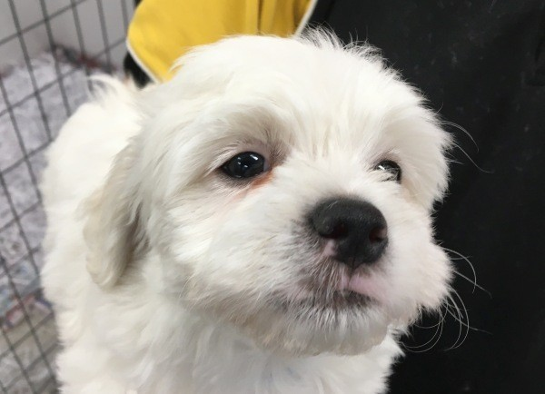 Feb 25 A Maltese Shih Tzu cross male puppy with a light blue collar and a white coat