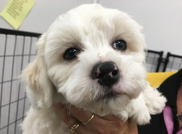 Feb 25 A Maltese Shih Tzu cross male puppy with a yellow collar and a cream white coat