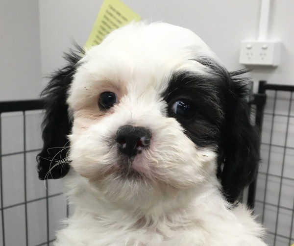 Feb 25 A Maltese Shih Tzu cross female puppy with a pink collar a black and white coat plus a black patch around one eye