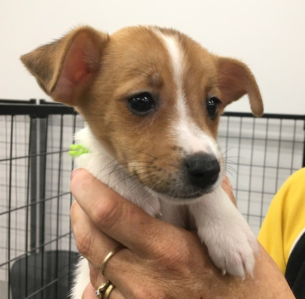 Feb 25 A Jack Russell male puppy with a white and brown coat He is wearing a lime green collar