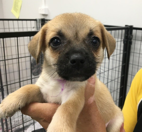 Feb 25 A Jug cross female puppy with a tan brown and black coat She is wearing a purple collar