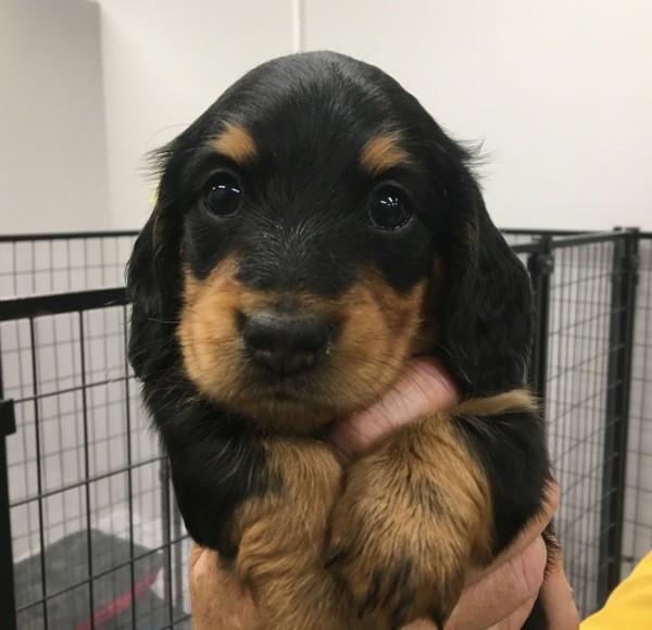 Feb 29 A male purebred longhair Dachshund puppy with a blue collar