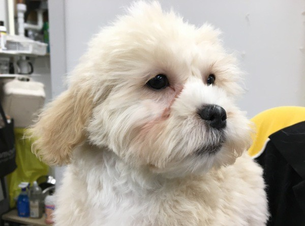 Mar 2 A male Moodle puppy with cream gold coat and a black collar