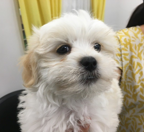Mar 10 A Maltese Shih Tzu cross male puppy with a yellow and a black collar
