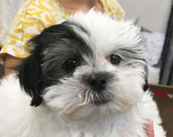 Mar 10 A Maltese Shih Tzu cross male puppy with a yellow and a light blue collar