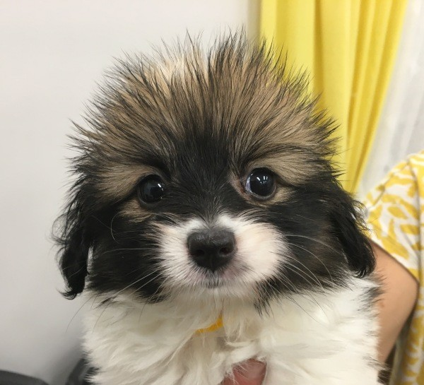 Mar 10 A Papillon male puppy of the Phalene type with a yellow collar