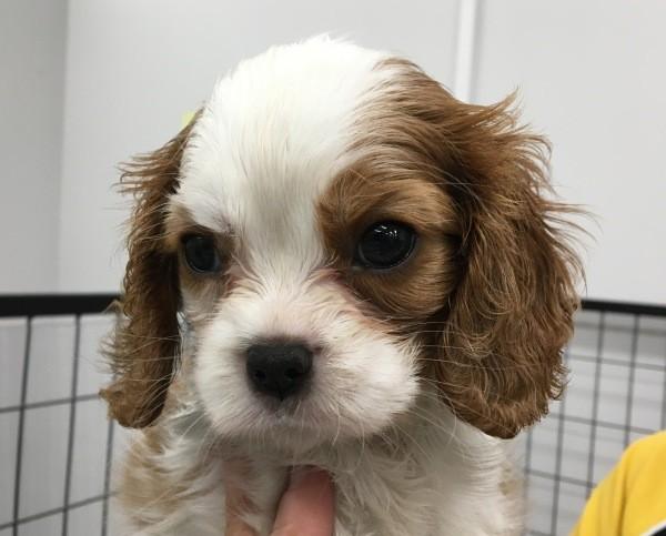 Mar 20 A Cavalier King Charles female puppy 2