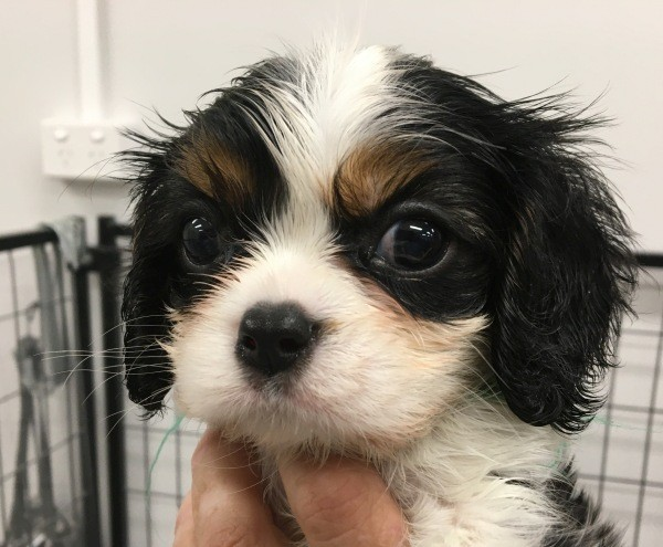 Mar 20 A Cavalier King Charles male puppy with a green collar 2