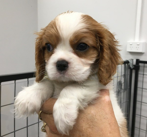 Mar 20 A Cavalier King Charles male puppy with a yellow collar 2
