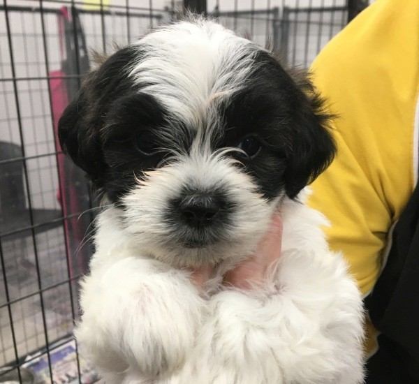 Mar 26 A female Maltese Shih Tzu cross puppy with a white and black coat with a tint of brown and an orange collar