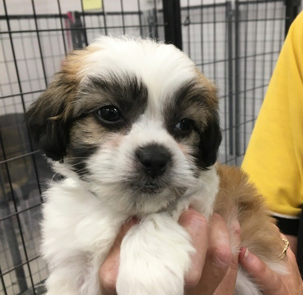 Mar 26 A male tri colour Maltese Shih Tzu cross puppy with a black collar