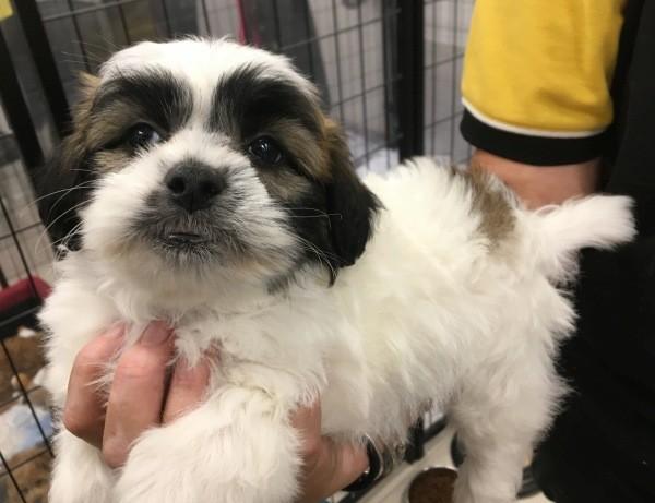 Mar 26 A male tri colour Maltese Shih Tzu cross puppy with a light blue collar
