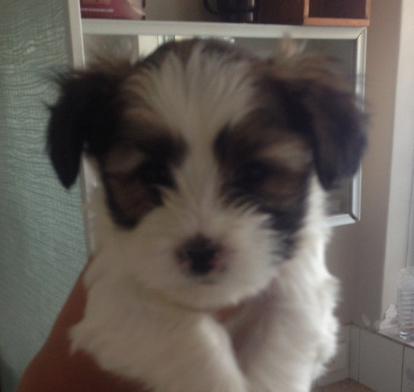 Apr 27 Maltese Shih Tzu cross female puppy 2