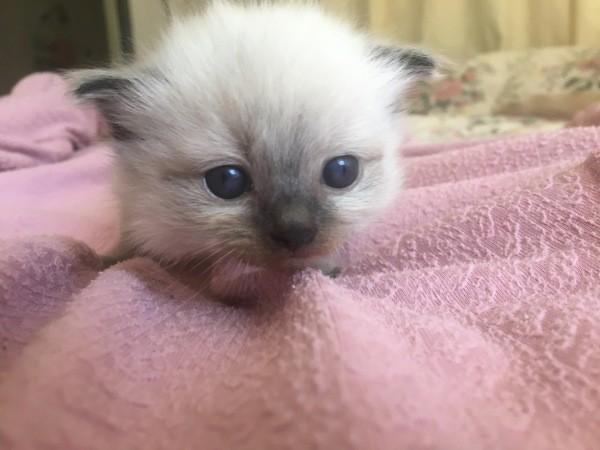 May 23 Male Ragdoll kitten at three weeks old