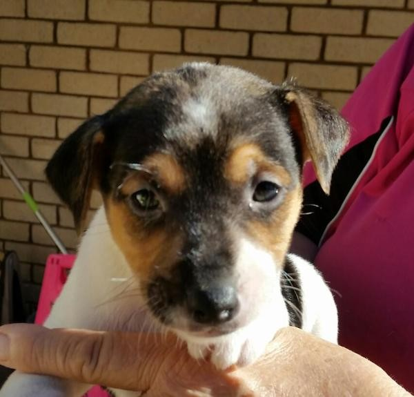 June 26 2020 Jack Russell 2a