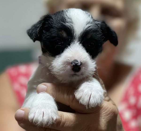 Westie, Jack Russell cross female puppy with a purple collar