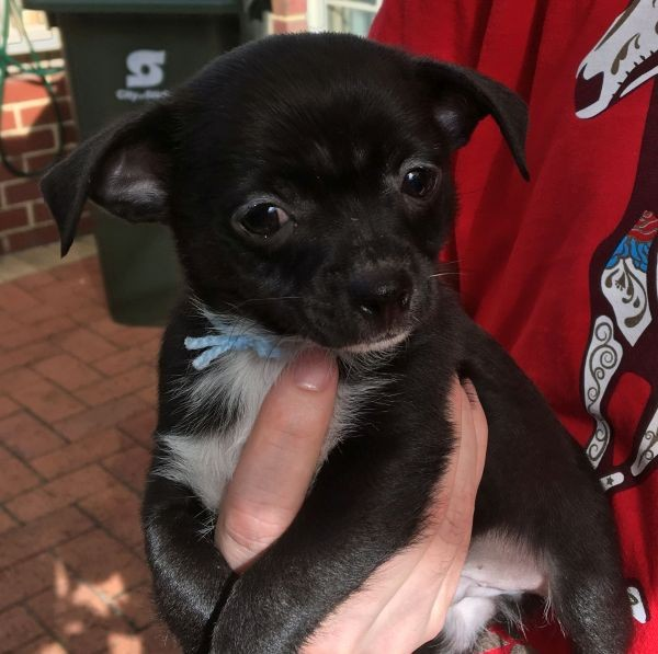 A male Chihuahua puppy with a black coat and light blue collar 2 May 21