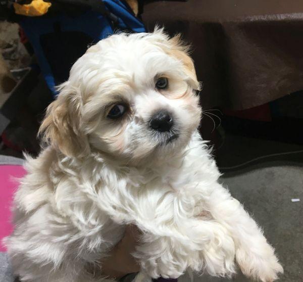 A Maltese Shih Tzu cream and white female puppy May 22 2021
