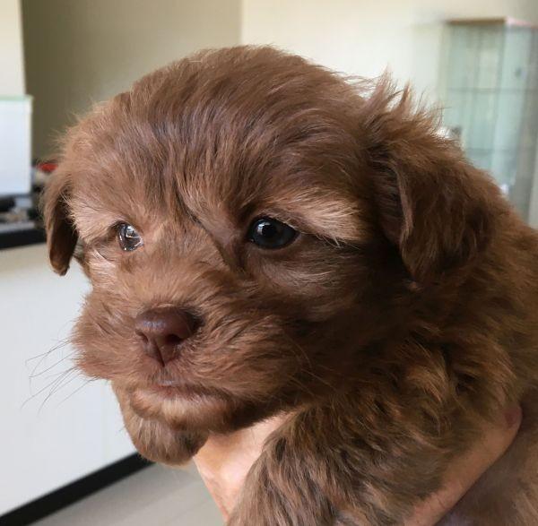 Maltese Shih Tzu female puppy with a rare chocolate ruby coat June 25 2021