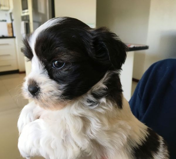 Maltese Shih Tzu male puppy with a black and white coat June 25 2021