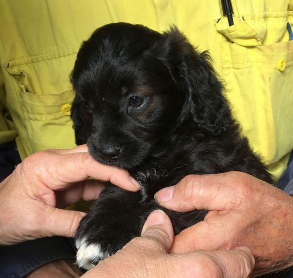 A male Cavoodle with a black and brown coat with white feet June 29 2021