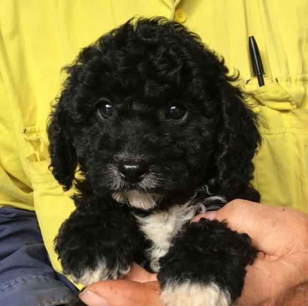 A male Cavoodle with a black coat with undertones and white splashes June 29 2021