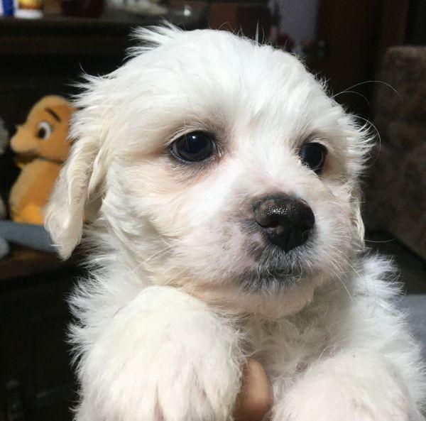 Bichon Frise - Maltese Shih Tzu cross male puppy with a black collar