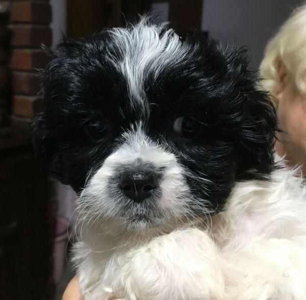Bichon Frise - Maltese Shih Tzu cross female puppy with a black and white coat