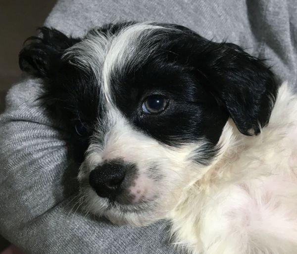 Bichon Frise - Maltese Shih Tzu cross male puppy with a black and white coat