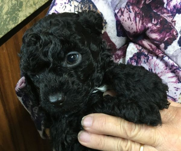 A Cavoodle male puppy with a black coat and an blue collar July 12 2021