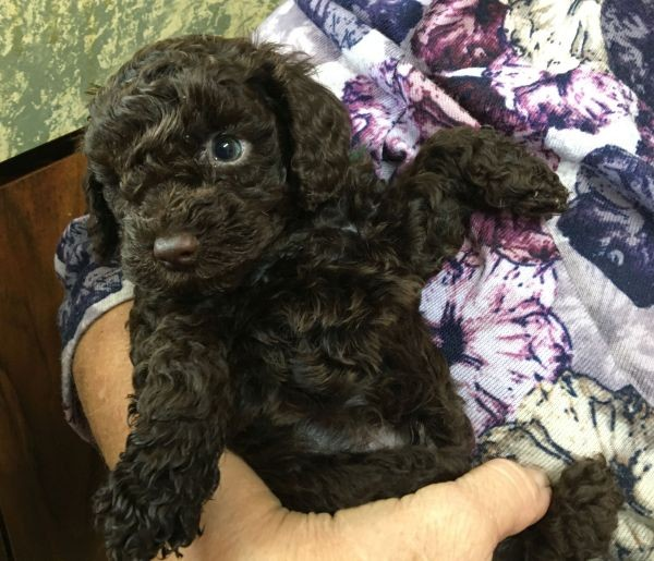 A Cavoodle male puppy with a chocolate coat and a yellow collar July 12 2021