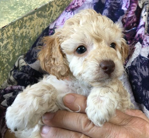 A Cavoodle male puppy with gold shades in his coat and an orange collar July 12 2021