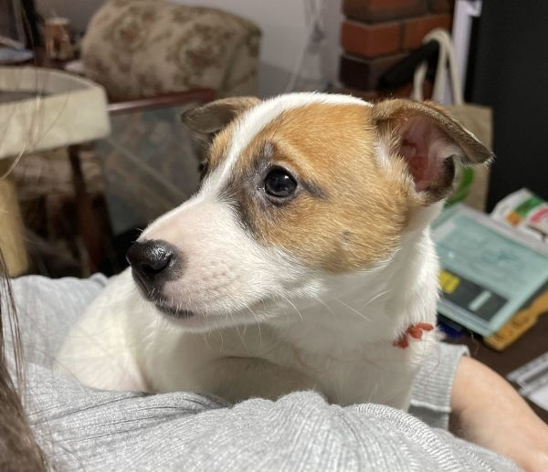 A Jack Russell male puppy with a brown collar July 21 2021
